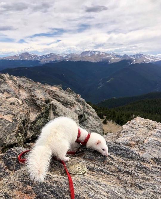 Oliver le furet au sommet de Chief Mountain, Colorado