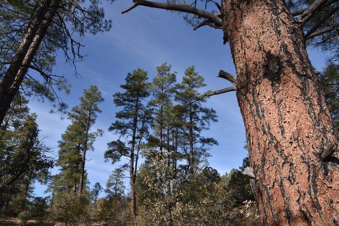 Les pins ponderosa ombragent le sentier Noodle Loop dans le système de sentiers Spence Basin à Prescott, Arizona.