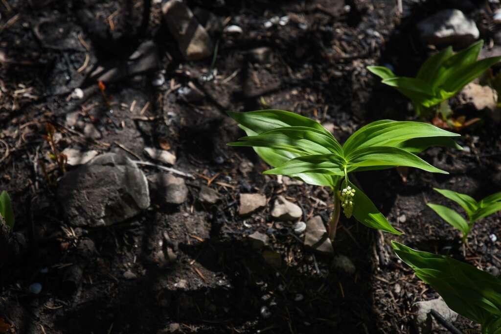 Une nouvelle végétation commence à pousser dans les zones de brûlage de Grizzly Creek Fire le long du sentier du lac Hanging.  | Chelsea Self / Post indépendant