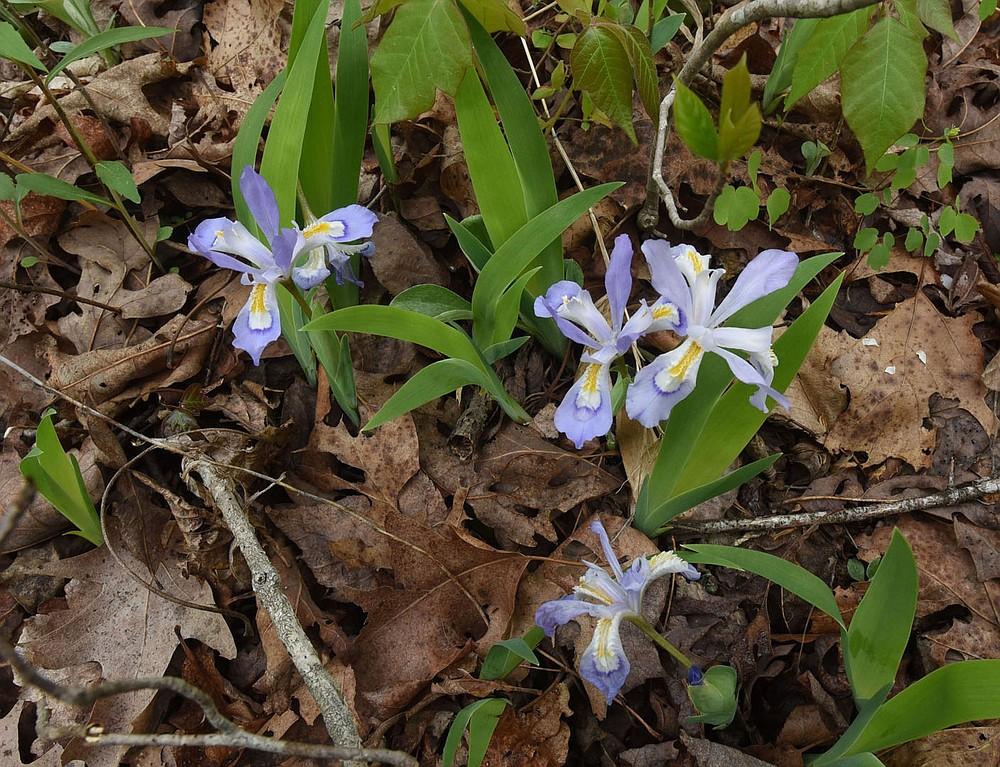Les fleurs sauvages printanières sont partout le long des sentiers de Pedestal Rocks.  (NWA Democrat-Gazette / Flip Putthoff)