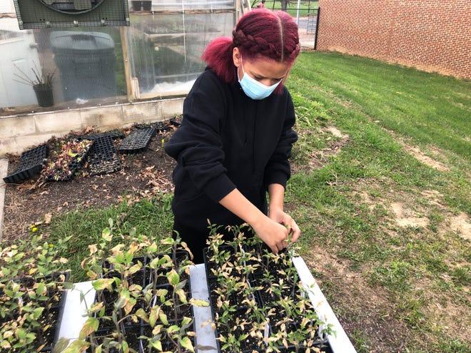 Michaela White, 13 ans, travaille avec des plantes à l'extérieur de la serre de la Shelburne Middle School.